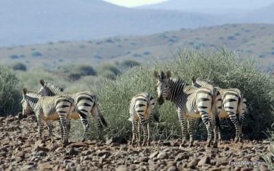 Zebra's in de buurt van de Brandberg.